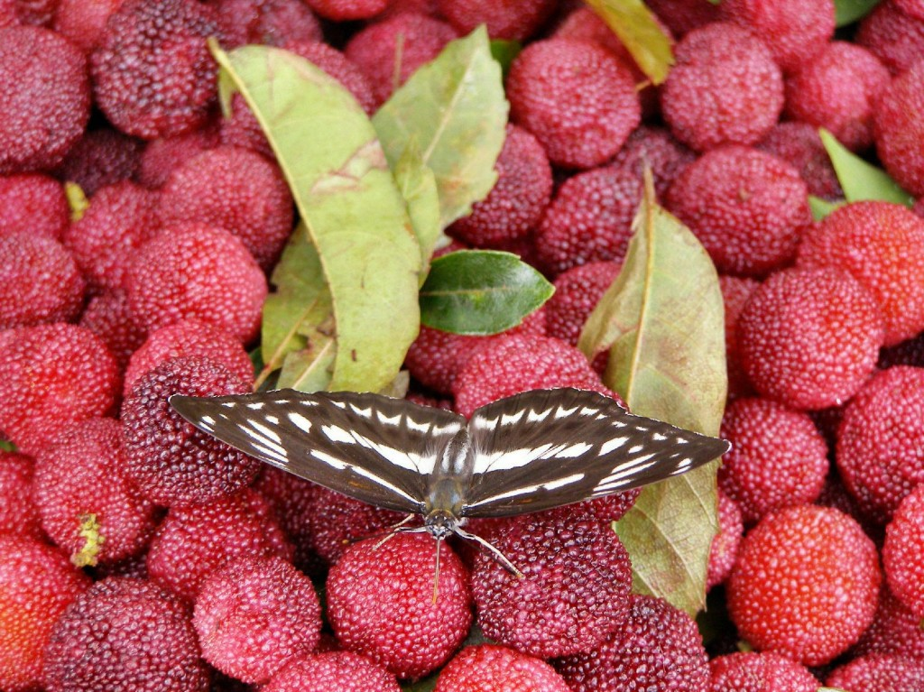 China: Schmetterling Common Sailor (Neptis hylas)