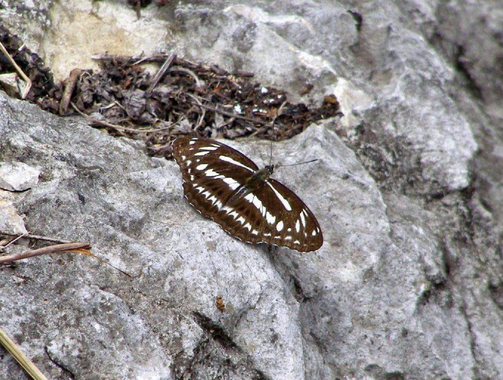 Schmetterling China