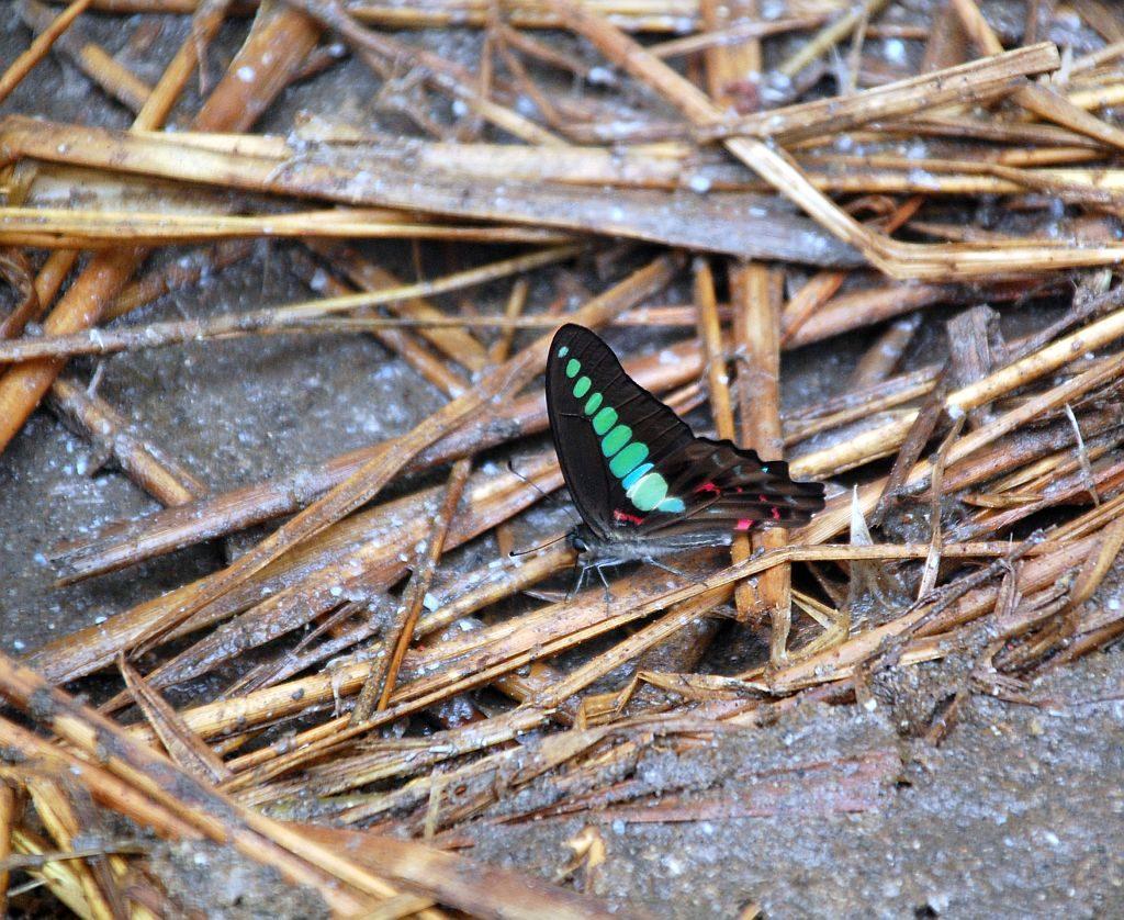 Schmetterling am Emeishan bei Chengdu