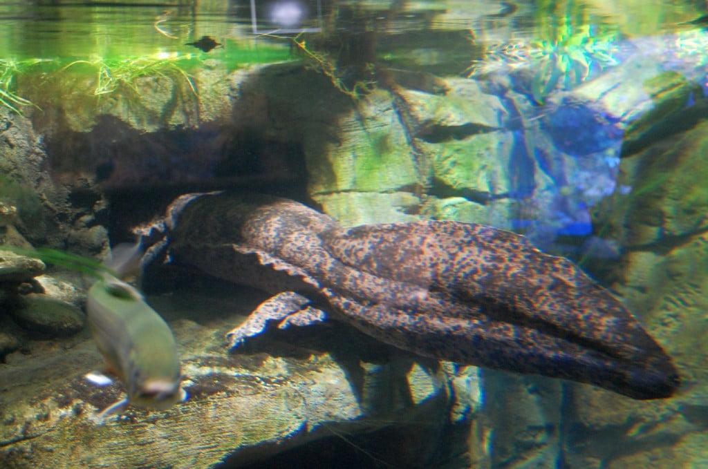 Duisburg Zoo Chinesischer Riesensalamander