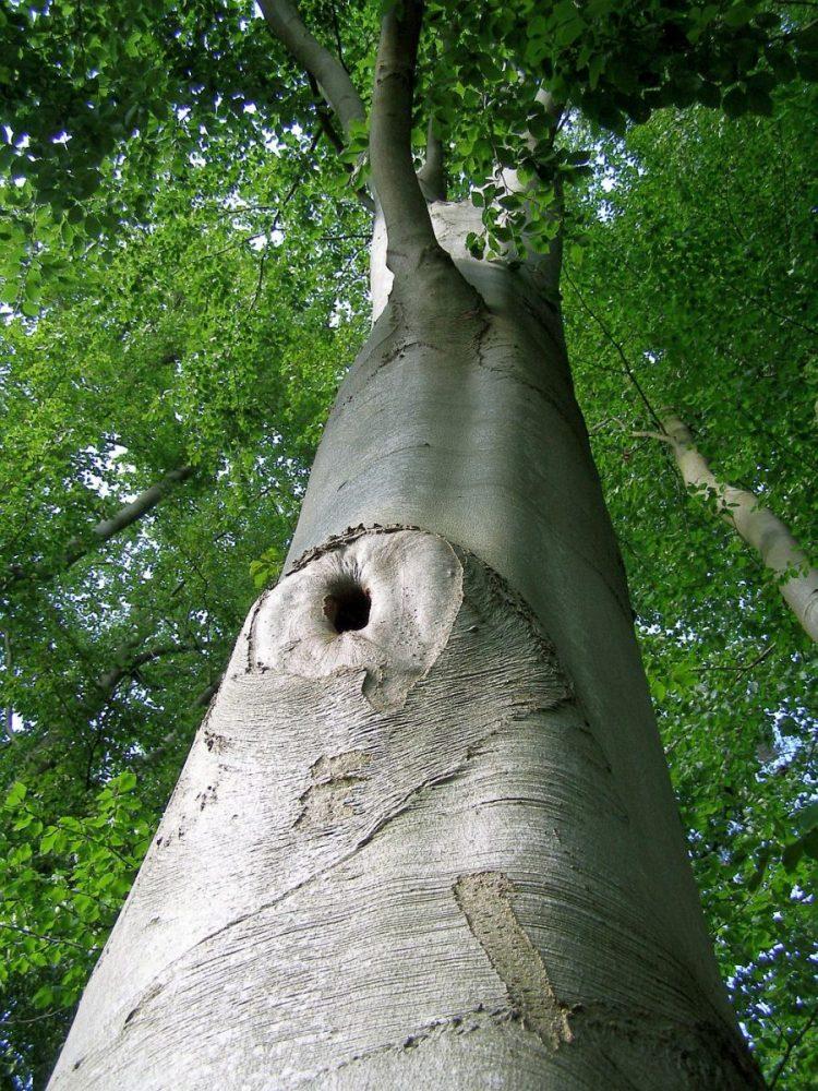 Der passende starke Baum für das Baum-Qigong