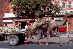 Jaipur Kamelwagen