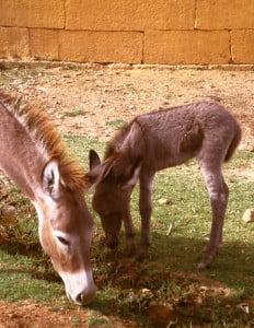 Ländliches Indien: Esel