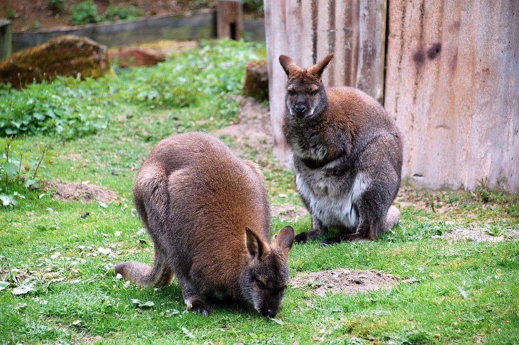 Känguruhs