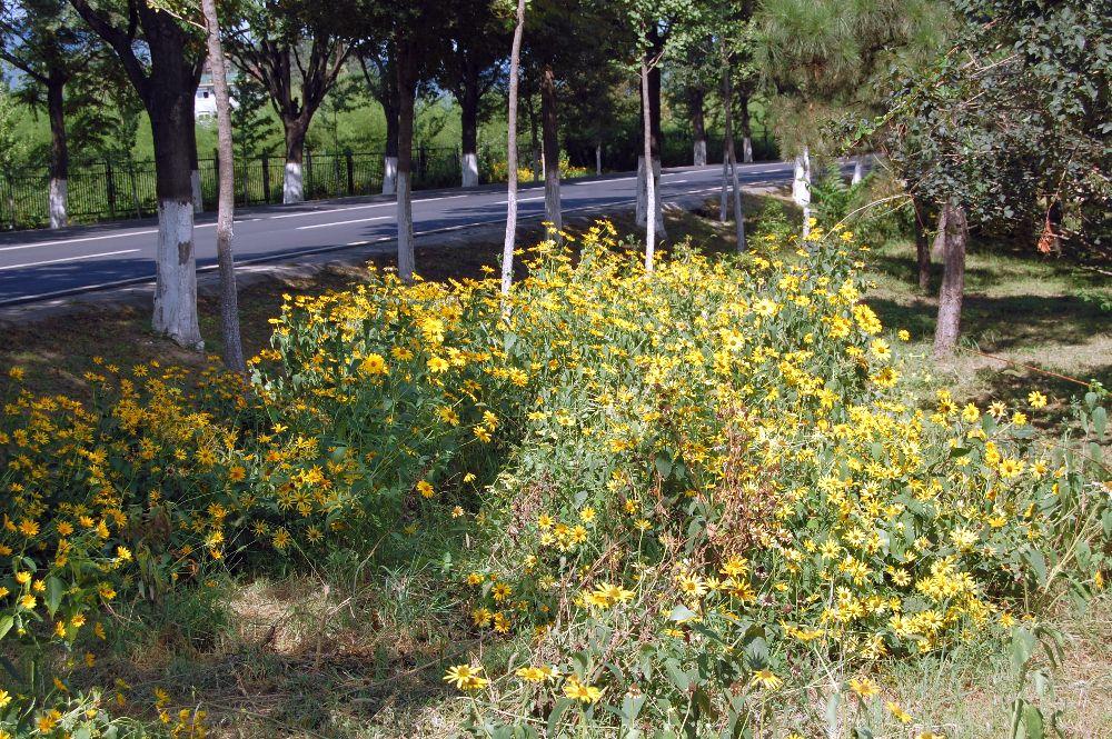 Gelbe Blumen auf dem weg nach Huanghuacheng