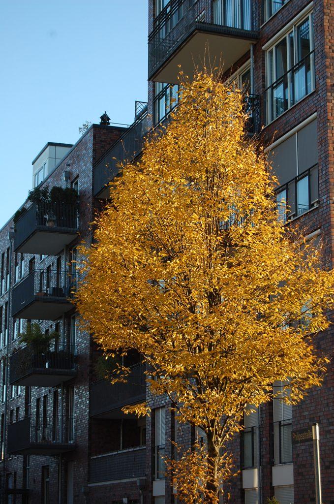 Herbst in der Stadt - Hamburg - gold leuchtender Baum vor grauer Hausfassade