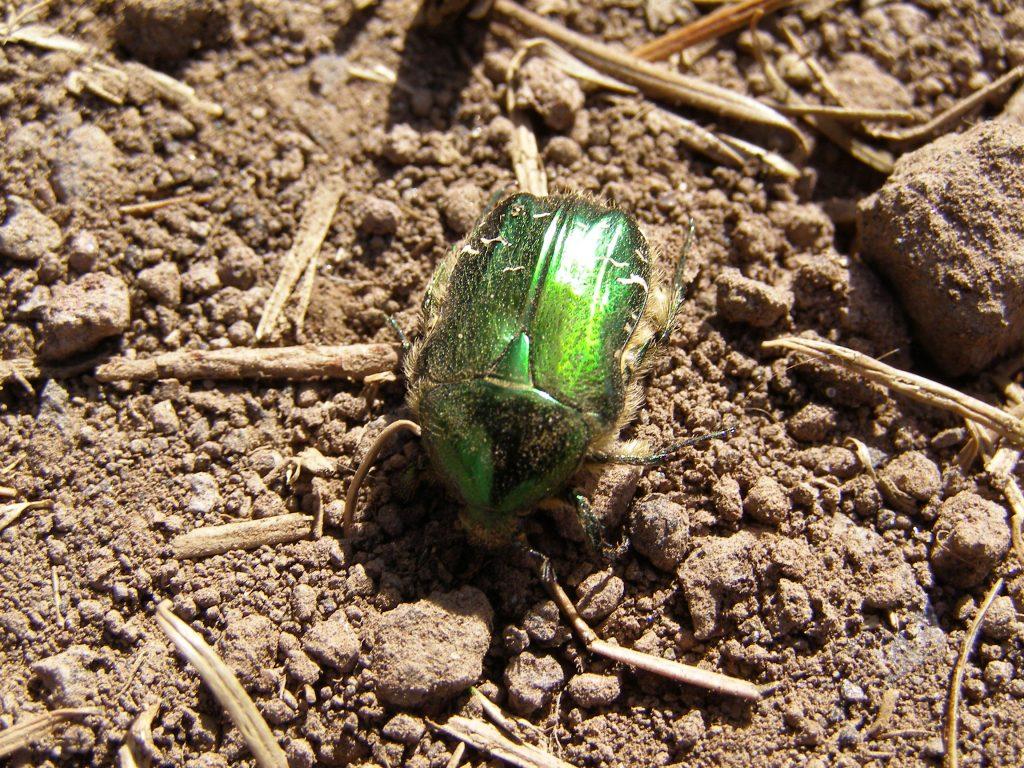 Grün leuchtender Käfer im Herbst