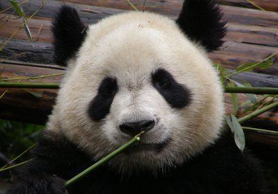 Panda-Gesicht
