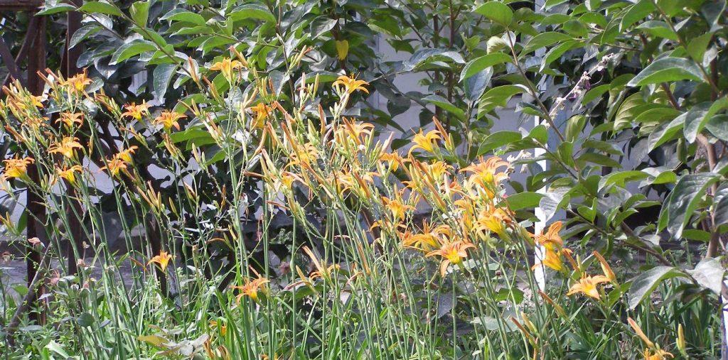 Lilien im Fergana Tal