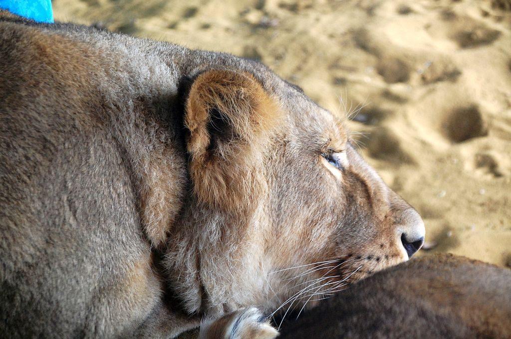 Indische Löwe - schlafend