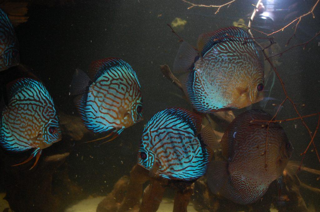 Aquarium Diskusfische