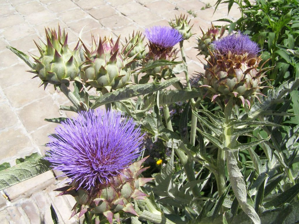 Flowers of Usbekistan: Distel