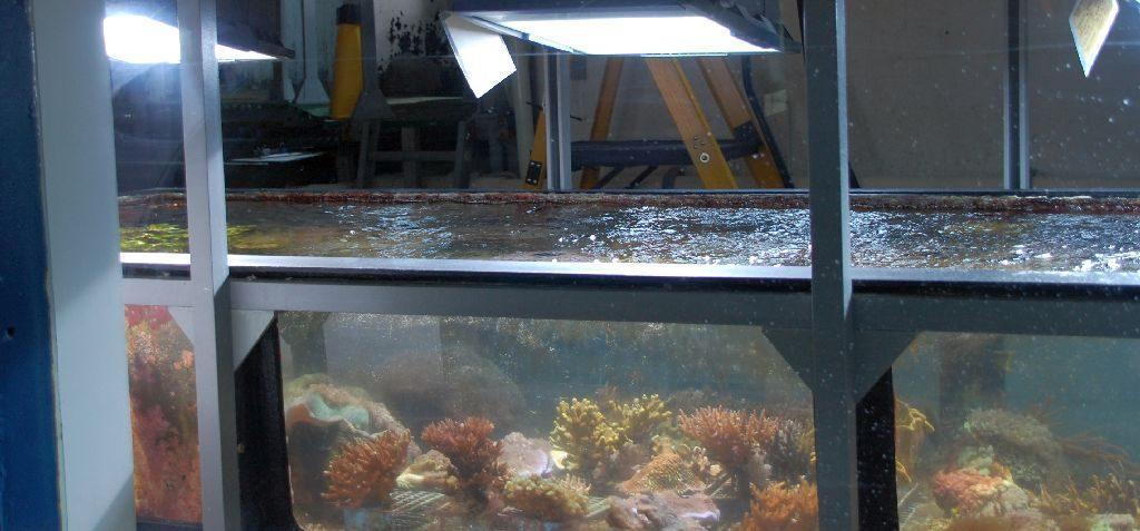 Blick in das Aquarium mit den geschmuggelten Korallen