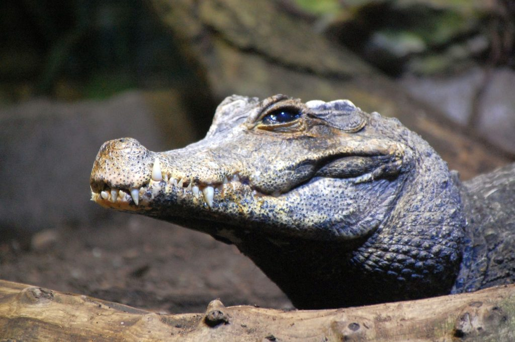 Leipziger Zoo: Aligator