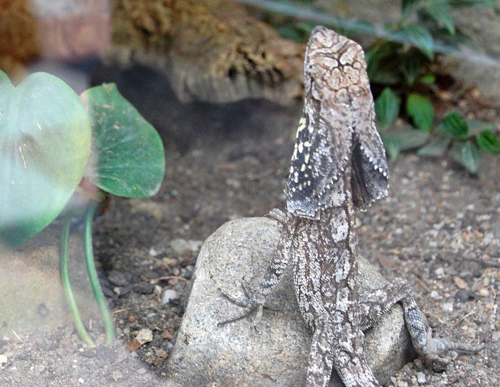 Kragenechse -Australien