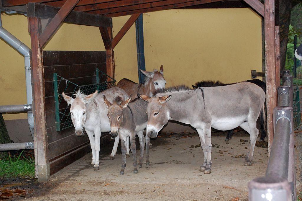 Zoo Dresden - Esel im Regen