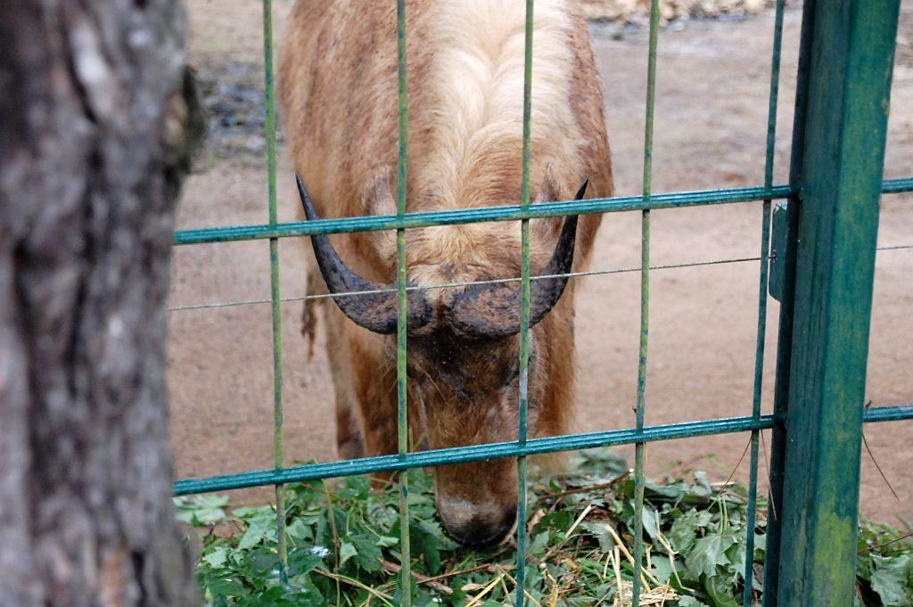 Zoo Dresden: Gold-Takin