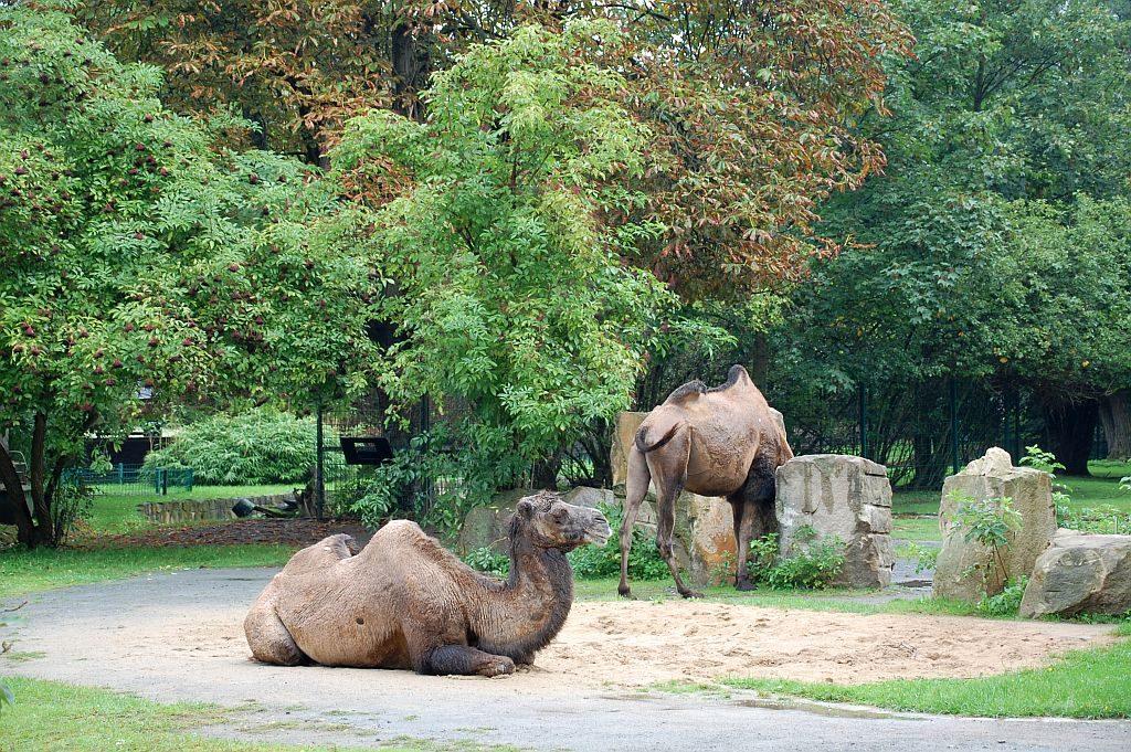 Zoo Dresden - Kamele