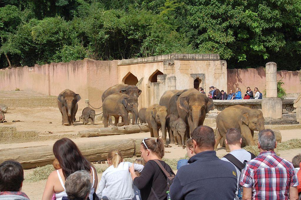 Die Elefantenherde kommt zur Fütterung