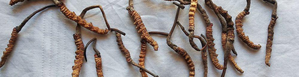 Pilz Cordiceps